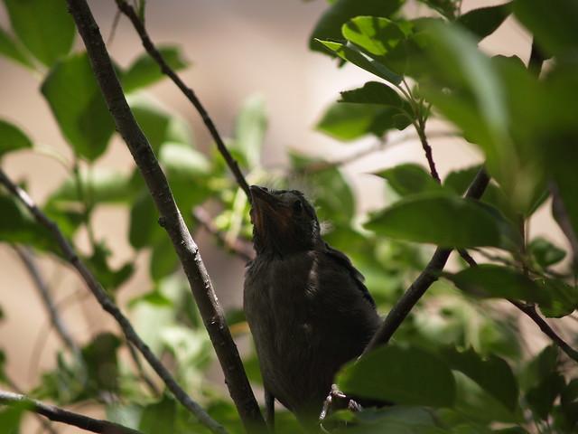 fledgling grackle - photo #18