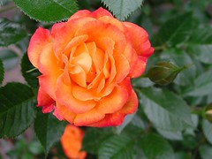 shrub(0.0), rosa rubiginosa(0.0), rosa rugosa(0.0), annual plant(1.0), garden roses(1.0), rosa 㗠centifolia(1.0), floribunda(1.0), flower(1.0), plant(1.0), flora(1.0), rosa chinensis(1.0), petal(1.0),