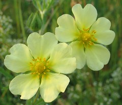 wildflower(0.0), evening primrose(0.0), annual plant(1.0), flower(1.0), large-flowered evening primrose (1.0), yellow(1.0), plant(1.0), flora(1.0), common tormentil(1.0), petal(1.0),