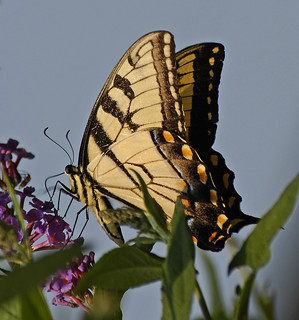 Swallowtail on Buddleia 2b