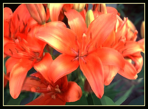 Church Lilies - 7