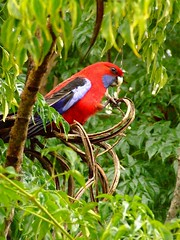 red parrot in tree