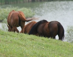 equestrianism(0.0), eventing(0.0), animal(1.0), prairie(1.0), mane(1.0), mare(1.0), stallion(1.0), grass(1.0), mammal(1.0), foal(1.0), horse(1.0), grazing(1.0), fauna(1.0), mustang horse(1.0), meadow(1.0), pasture(1.0), pony(1.0), grassland(1.0),