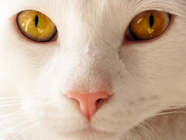 Image result for white cat faces