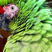 thick billed parrot by Marlis1