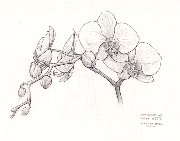 Orchid sketch - a photo on Flickriver  Orchid sketch -...