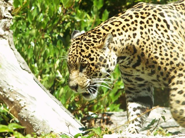 Jaguar Roar   Flickr - Photo Sharing!