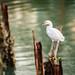 Egret at Yundang Lake Xiamen