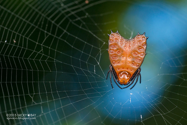 Thorned heart orb weaver (Micrathena clypeata) - DSC_1629b