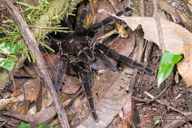 Chicken tarantula (Pamphobeteus sp.) - DSC_4438