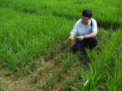 Plant molecular pathologist Yulin Jia samples a field for rice blast disease
