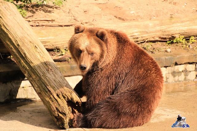 Eisbär Fiete im Zoo Rostock 26.09.2015   0168