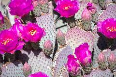 Beavertail Cactus Blossums