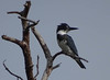 BELTED KINGFISHER by nflravens