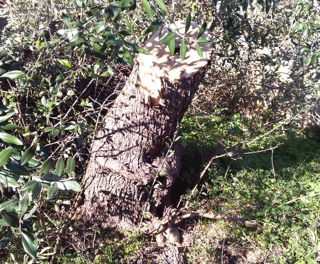 Rutigliano-Segati 19 alberi secolari di Rutigliano (1)