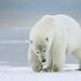 Polar Bear by missymandel