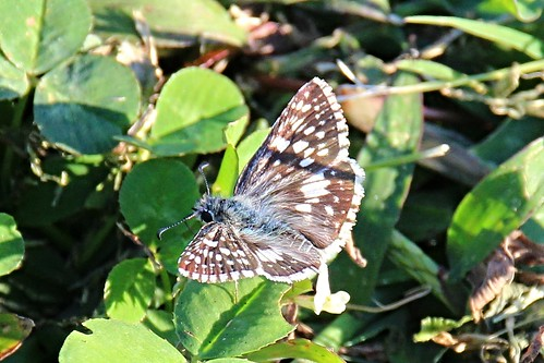 IMG_6787_Common_Checkered-Skipper_Butterfly_at_Douglas_Dam
