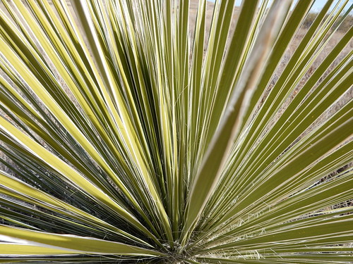 City of Rocks State Park - yucca