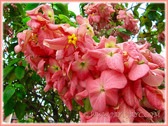 Salmon-pink bracts of Mussaenda philippica 'Dona Luz', Feb 8 2014