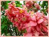 Mussaenda philippics 'Dona Luz' (Tropical Dogwood Dona Luz, Dona Luz Pink Mussaenda)
