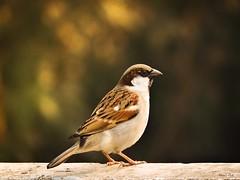 Little Sparrow..
