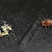 Globular springtail and lichen fragment by Lord V