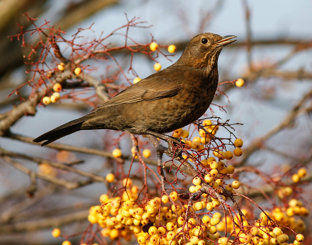 Female Blackbird,Hessle,East Yorkshire.