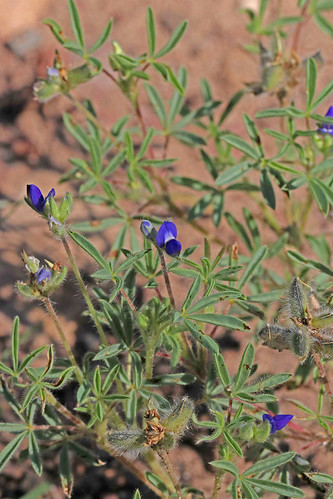 2016 catronco fabaceae fabales lupinusbrevicaulis mangusmountain nm rosids shortstemlupine wildflower flower lupiinus lupine