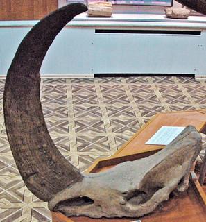 Coelodonta antiquitatis (fossil woolly rhinoceros) (Pleistocene; Siberia, Russia) 1