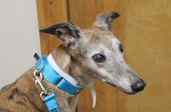 dog sports(0.0), animal sports(0.0), hound(0.0), sports(0.0), dog breed(1.0), animal(1.0), dog(1.0), whippet(1.0), galgo espaã±ol(1.0), pet(1.0), mammal(1.0), lurcher(1.0), italian greyhound(1.0), greyhound(1.0),