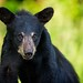 Portrait of Black Bear Youngster *in explore* by Glatz Nature Photography