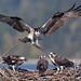 Osprey Family by photosauraus rex