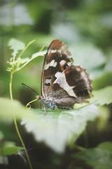 Lepidoptera et alius