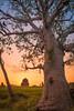 Baobab. Mandu, India