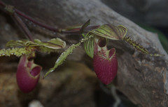 Paphiopedilum ?, Flecker Botanic Garden, Cairns, QLD, 27/09/15