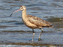 olympia_long-billed_curlew_09-12-12
