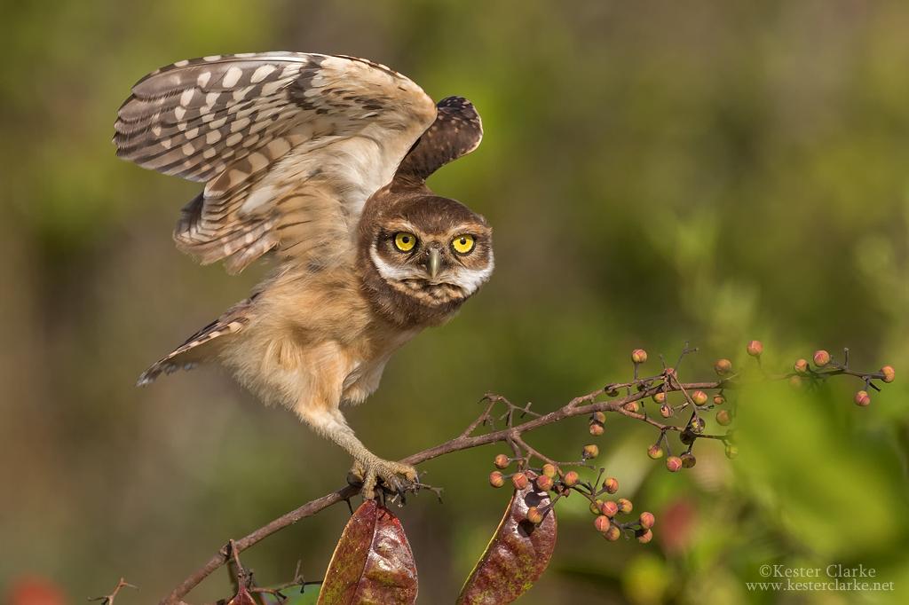 Burrowing Owlet 1