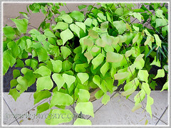 Adiantum trapeziforme (Giant/Diamond Maidenhair, Trapezoidal Maidenhair), focusing on the newly unfurled leaflets with pinkish tinge, July 9, 2014