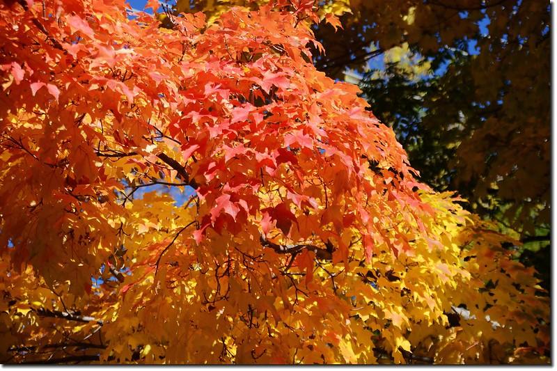 Sugar maple leaves (15)