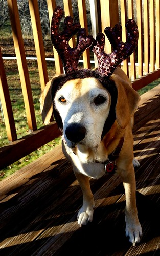 Senior Hound Mix in Reindeer Antlers - Lapdog Creations