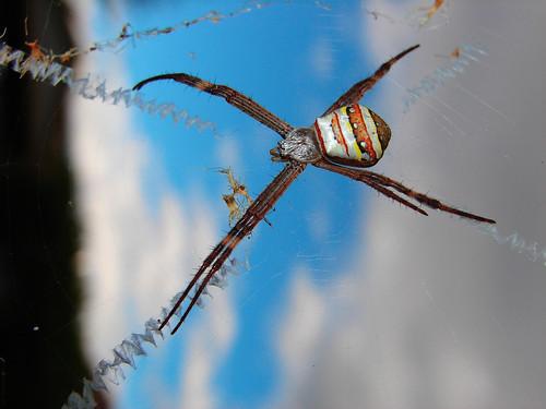 St. Andrews Cross Spider. Louise Docker.
