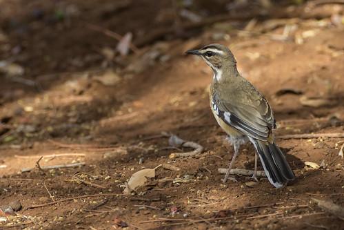 southafrica kwazulunatal passeriformes muscicapidae beardedscrubrobin cercotrichasquadrivirgata mkuzigamereserve