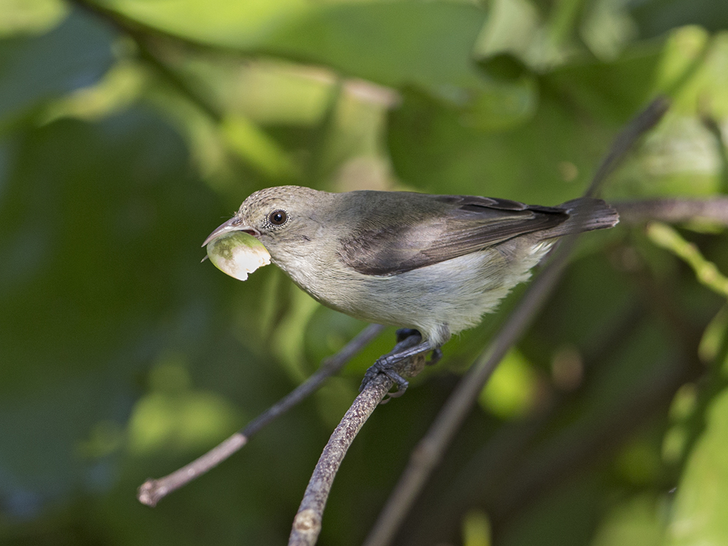 Pale-billed Flowerpecker   Sri Lanka
