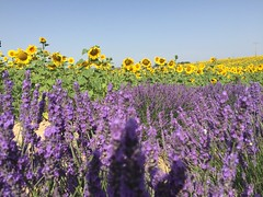 Lavandin & Sunflowers 03