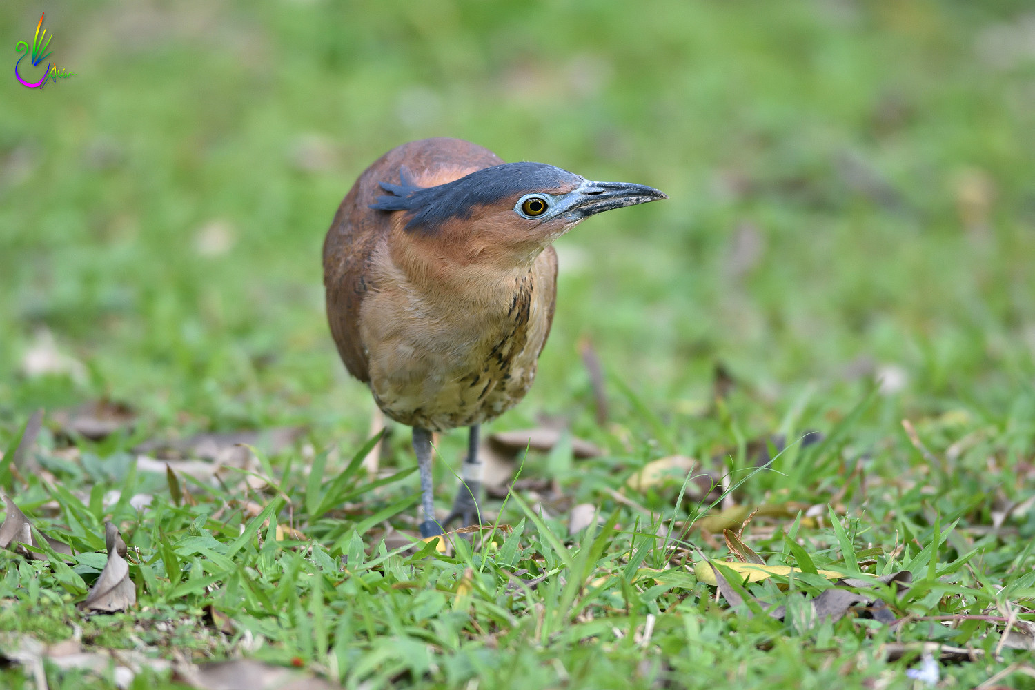 Malayan_Night_Heron_5426