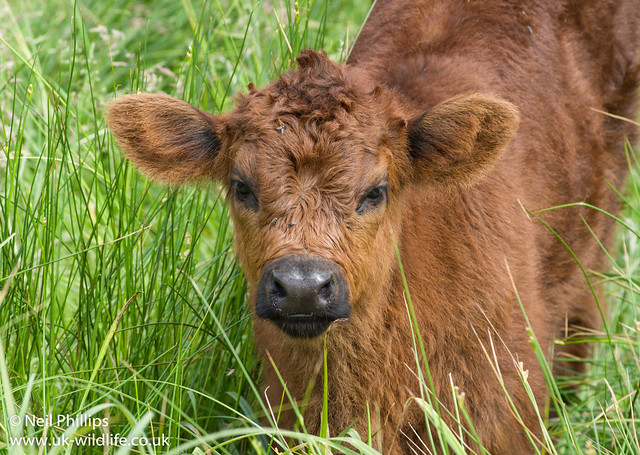 Highland cow calf-2