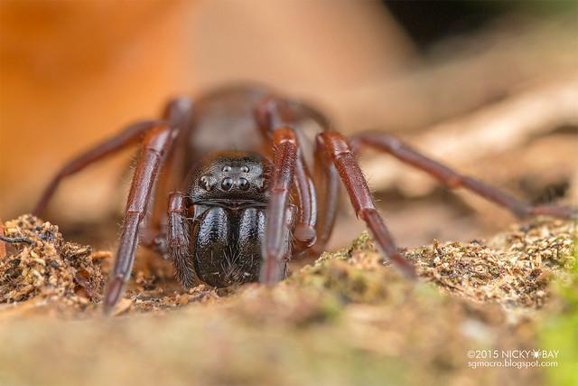 Sac spider (Corinnidae) - DSC_1910