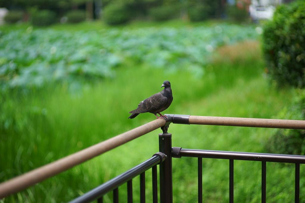 福岡城跡のお堀の近くにいたハト