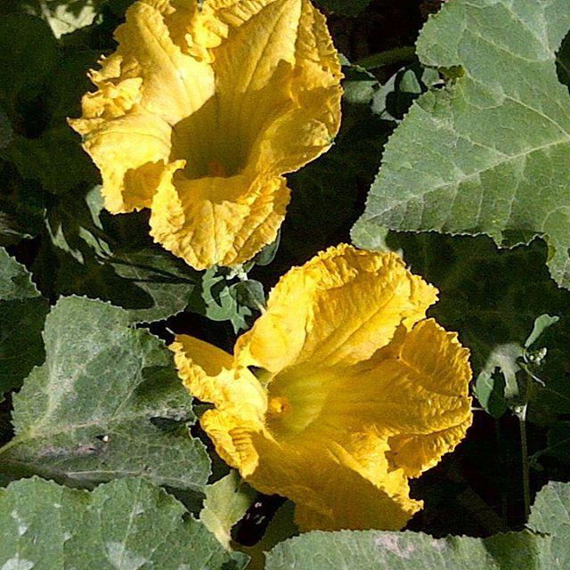 Flor de calabaza verrucosa #pueblo