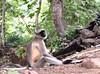 Indian Leaf Monkey